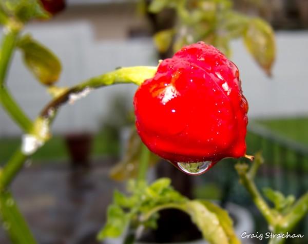 Raindrop chilli