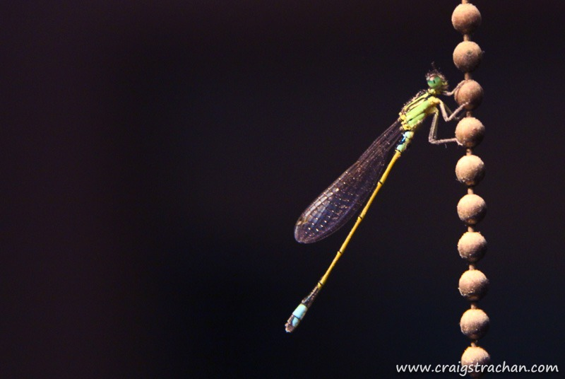 Cds 054 dragonfly